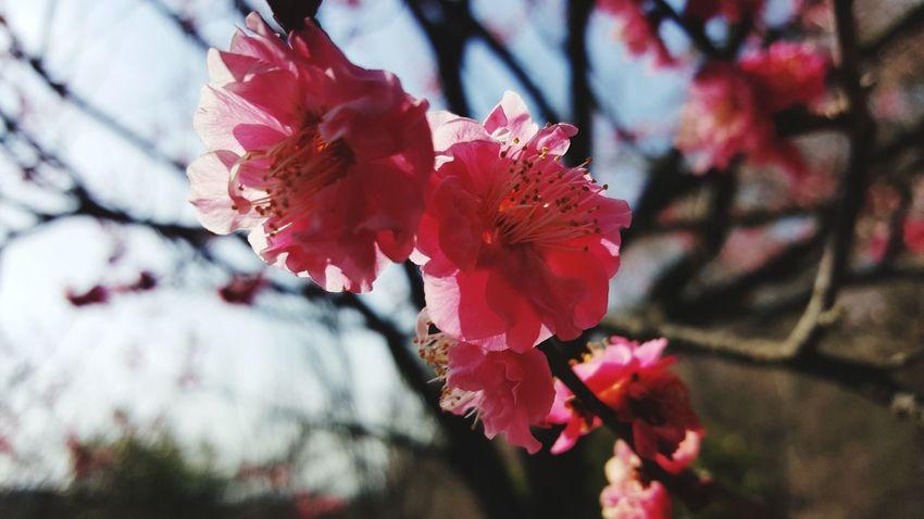 Flowernature Flower Head Nature Plum Blossom Flower Growth