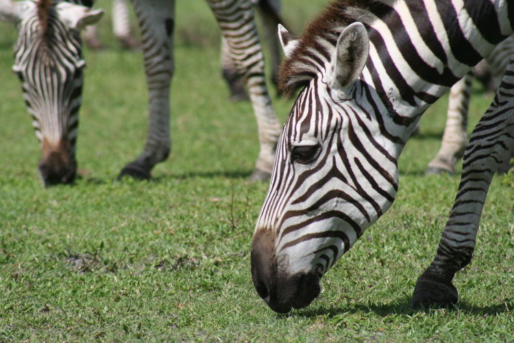 Close-Up Of Zebras Grazing In Farm