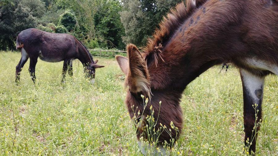 El ruc català Ways Of Seeing Ruc Català Ase Català Burro EyeEm Selects Tree Grazing Grass Livestock Donkey Working Animal Horsedrawn Moose Herbivorous