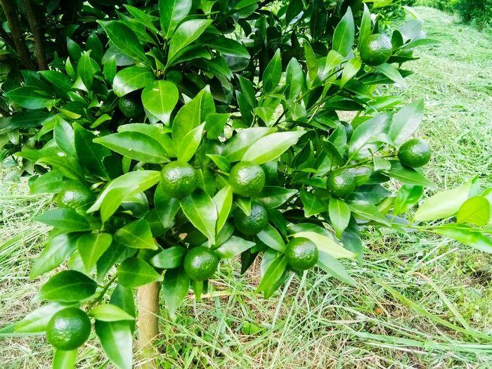 สวนส้ม Leaf Close-up Plant Green Color Full Frame Plant Life Backgrounds Textured  Bark Plant Bark Leaves Green Prepared Food Leaf Vein Detail Blossom Sky Only Growing Served Periwinkle LINE Rough Unripe Botany Stamen Greenery