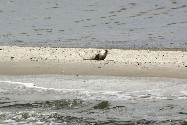 soo lonely Northsea Langeoog Looking At Camera Wildlife & Nature Seal Sandbank Young Seal Water Beach Animal Themes