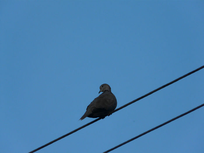 Low angle view of eagle perching on clear blue sky