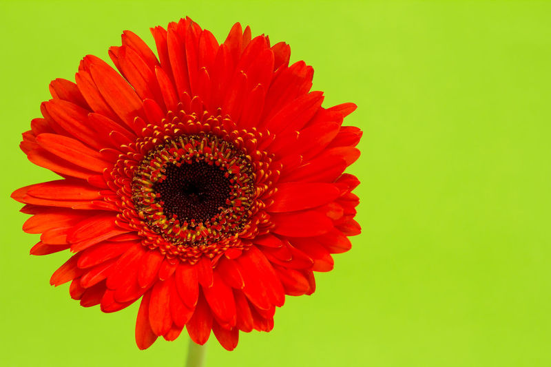 Close-up of red flower blooming against green background