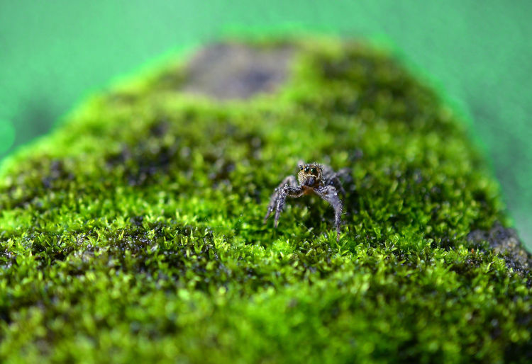 spider at green moss Jumper Spider Blurred Bokeh Selective Focus Animal Themes Green Color Animals In The Wild Insect Close-up Nature Grass Outdoors Day Plant Leaf