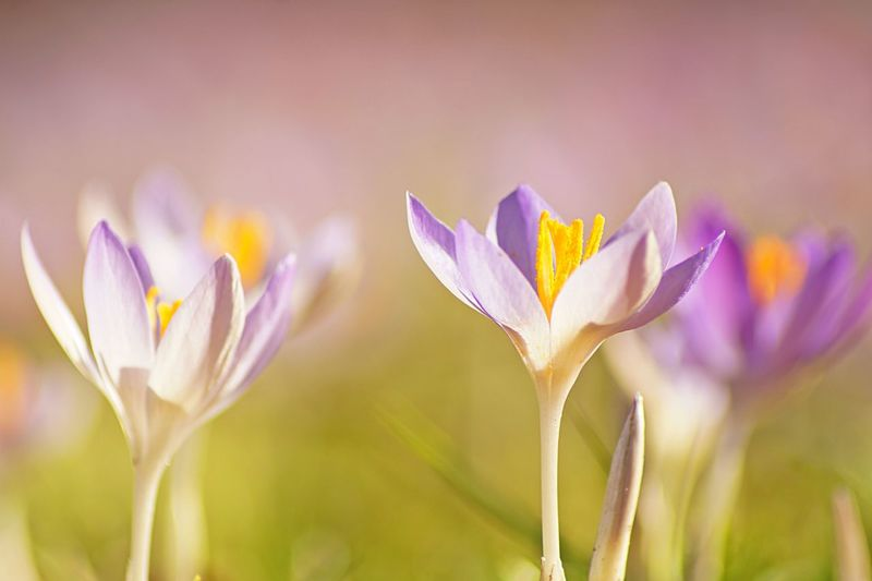 Close-up of purple crocus