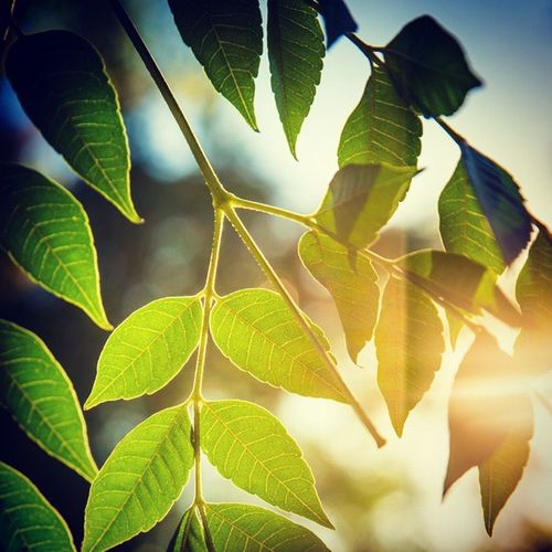 Good Morning Sunny Day Start Of The Day Neem Branch Leaves Nature Instaphoto Plant Photo_For_Like_Comment_Share Pic_of_the_day Follow Me .