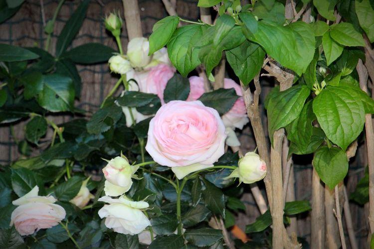 Flower Pink Color Rose - Flower Roses🌹 Fleurs