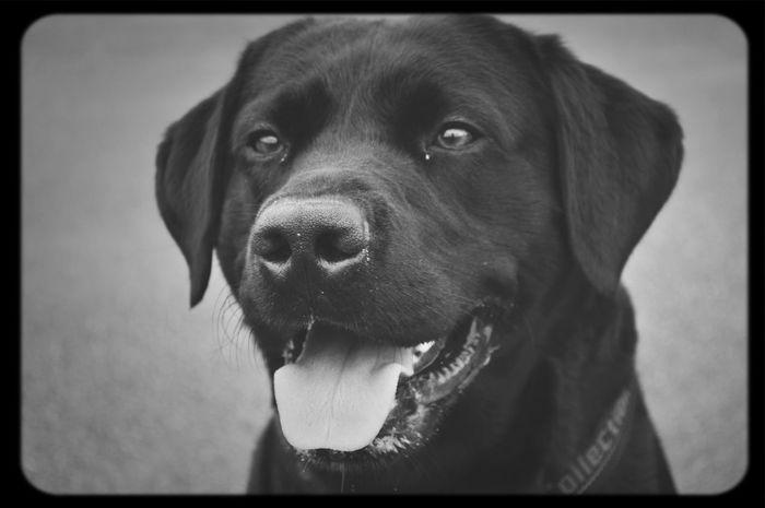 Best Friend Labrador Happiness Be Amazing