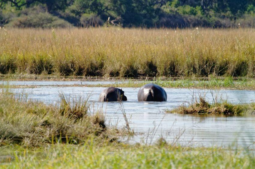 Hippos in the okovango Hippos Okovango Okovango River Cubango River Namibia Africa EyeEm Selects Water Tree Hippopotamus Grass Marsh Swamp Reed Wetland