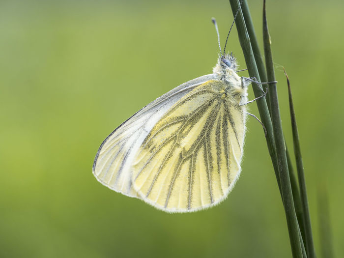 Macro Photography Animal Animal Themes Animal Wing Animals In The Wild Beauty In Nature Butterfly Butterfly - Insect Focus On Foreground Freigestellt Grashalm Insect Meadow Nature No People One Animal Outdoors Pieris Napi Summer Tagfalter Wings
