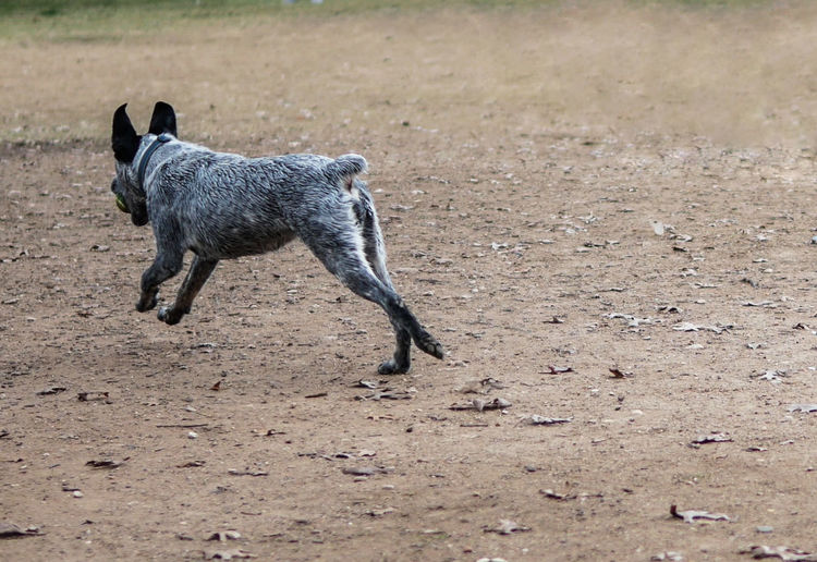 Side view photo of a gray and white dog running in motion holding tennis ball in his mouth. Animal Animal Themes Animal Wildlife Arid Climate Canine Day Dirt Dog Domestic Domestic Animals Field Full Length Land Mammal Motion Nature No People One Animal Pets Running Vertebrate