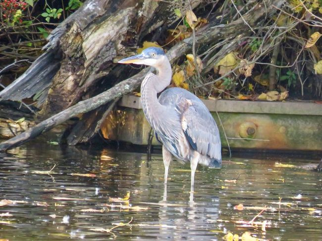 Blue heron wading in the pond trees water birds of EyeEm animal themes bird photography beauty in nature One Animal Water Bird No People