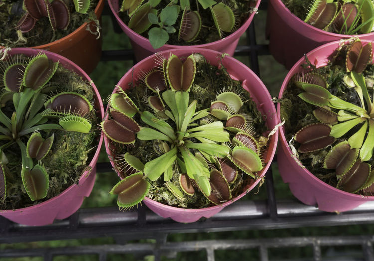 Close-up of venus flytrap plants in greenhouse