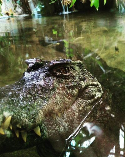 Inzoo Zoo Crocodille Nice Dangerous Epic Withschool Epic