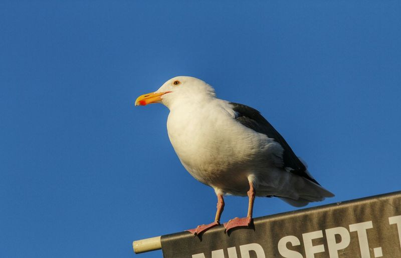 Close-up of seagull perching on wall against clear blue sky