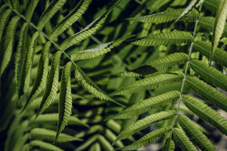 Vinegar tree, rhus typhina leaves as background