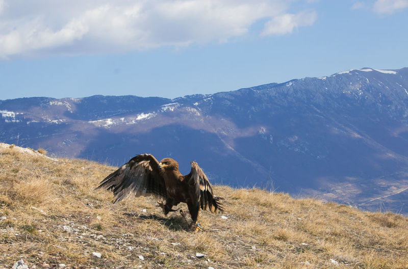 Portrait of golden eagle walking in the ground Eagle Eagle - Bird Golden Eagle Aquila Reale Bird Animal Themes Nature Animals In The Wild Calascio Rocca Calascio Abruzzo Park Gran Sasso E Monti Della Laga National Park Monti Della Laga Apennines Wings Giant Portrait Walking Spring Birdwatching Birdwatcher Wallpaper No People Beauty In Nature Mountain Range Cloud - Sky Scenics - Nature Sky Animal Mountain Landscape Day Non-urban Scene Environment Outdoors