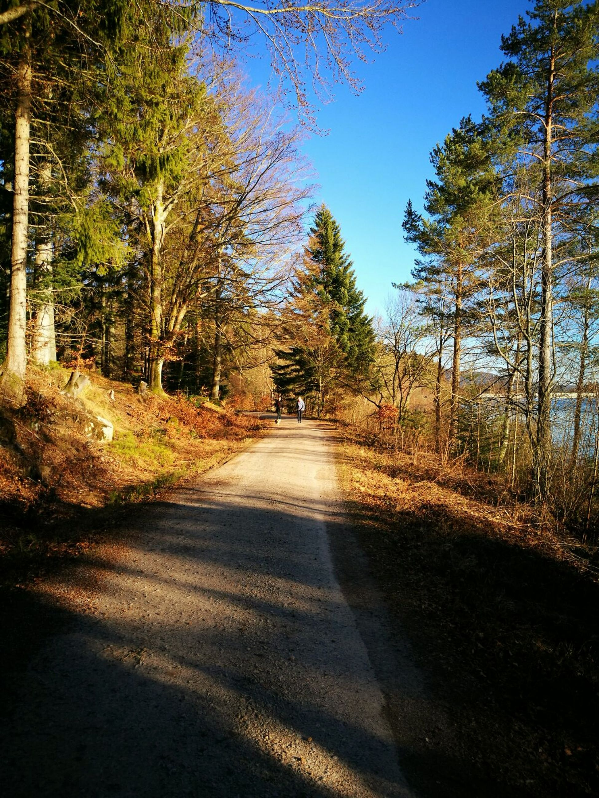 tree, the way forward, nature, sunlight, shadow, tranquility, outdoors, tranquil scene, no people, day, growth, beauty in nature, clear sky, scenics, road, forest, sky