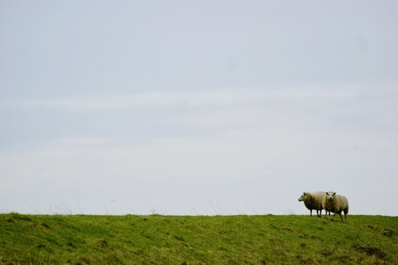 Peaceful Friendship Netherlands Mammal Field Animal Themes Animal Livestock Grass Plant Agriculture Environment Day Domestic Animals Landscape Green Color Nature Sky EyeEmNewHere Grass Plant