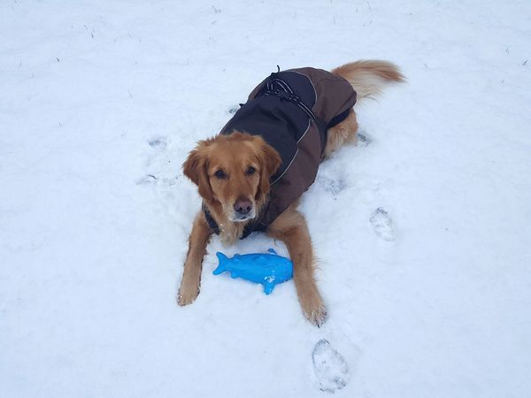 Dog playing in the snow. Hundemantel Dog Coat Schnee Golden Retriever Hund Hundespielzeug Dogtoy Mammal Playing Cold Temperature Winter Outdoors Snow Day No People