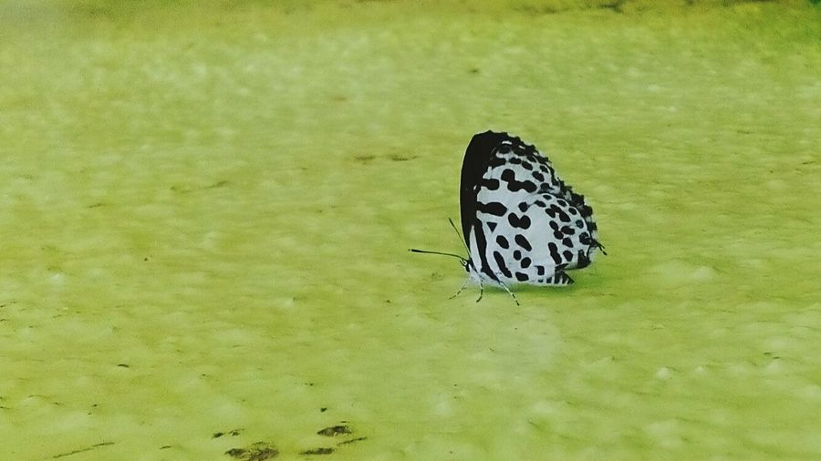 Animal Themes Outdoors Nature Animals Butterfly ❤ Macro Chennai The Week On Eyem Insect Common Pierrot Ambattur India