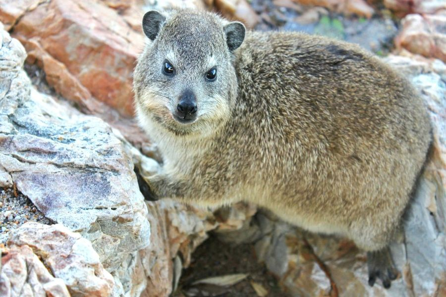 Wild dassie (rock hyrax) posing for the camera in Cape Town, South Africa Dassie Rock Hyrax Nature Wildlife Wildlife & Nature Wildlife Photography Posing For The Camera Animals In The Wild Animal Posing South Africa Rocky Shore Animal Wildlife Animals In The Wild One Animal Outdoors Mammal Day Nature Close-up No People Animal Themes Portrait