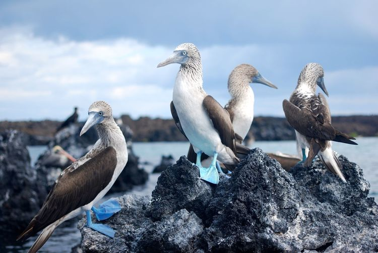Blue Footed Boobies, Galapagos Islands, Equador Bird Birds Blue Footed Boobie Galapagos Galapagos Islands Group No People Sea Volcanic Landscape Volcanic Rock