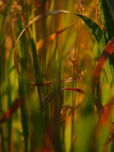 Beauty In Nature Blade Of Grass Colourful Grass Detail Grass Growing Leaf Light Filtered Through Grass Nature Selective Focus Stem