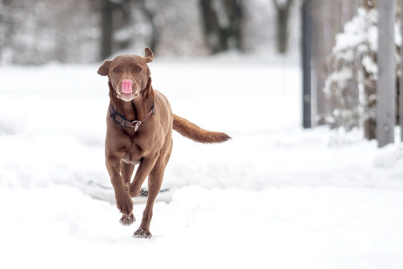 A black puppy is playing in the snow Animal Breed Cold Cute Dog Domestic Family Friend Fur Happy Ice Labrador Labrador Retriever Nature Obedient Dog Outside Pet Playful Purebred Retriever Season  Snow White Winter Canine Pets Domestic Animals Vertebrate Mammal One Animal Animal Themes Cold Temperature Running Field Full Length Day Motion Outdoors