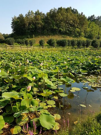 Nature Water Beauty In Nature Growth Outdoors Day Tree Green Color No People Freshness Sky Langhe Piedmont Italy Romantic Tranquil Scene Tranquility Lotus Lake Lotus Flowers Lily Pad