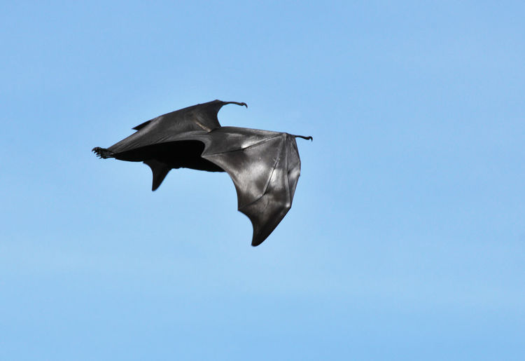 Flying Fox flying in a blue sky in Thailand Animal Bat Blue Sky Cloaked Flying Flying Fox Mammal Nature Thailand Wildlife Wings