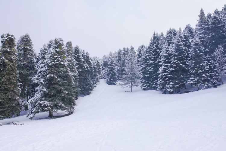 Winter Snow Winter Cold Temperature Tree Plant Land Beauty In Nature No People Sky Tranquility Nature Scenics - Nature White Color Tranquil Scene Covering Day Non-urban Scene Growth Field Pine Tree Coniferous Tree Snowing Trees White Winter