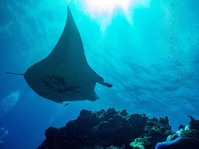 Manta ray 'fly by' on Hawaii island. Manta Manta Ray Fly By Wildlife Underwater Blue Scuba Diving Padi Check This Out Kona Diving Company Kona Adventures Underwater Photography Nature Kailua-Kona Big Island No People Outdoors Pacific Diving Unrecognizable Person Color Palette A Bird's Eye View