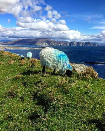 Sheep Animals In The Wild Cloud - Sky Sky Nature Grass Water Sea Green Color Beauty In Nature Day Outdoors Tranquility Scenics No People Horizon Over Water Animal Themes Blue Mammal The Great Outdoors - 2017 EyeEm Awards