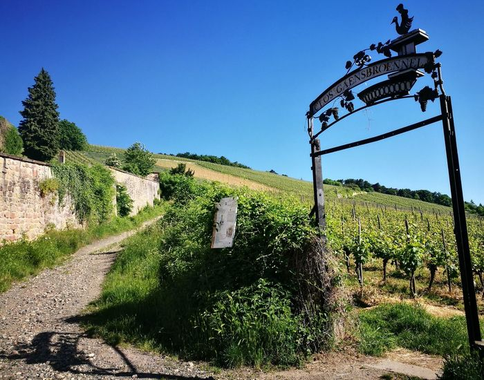 Wine Outdoors Blue No People Clear Sky Day Grass Sky Nature Alsace Life Alsace Alsacefrance Alsace France Wine Huaweiphotography Huawei P9 Leica Naturelover Nature_collection Beauty vine Vine Vineyard Vineyard Cultivation Vines And Leaf Vines On Trees Vinery