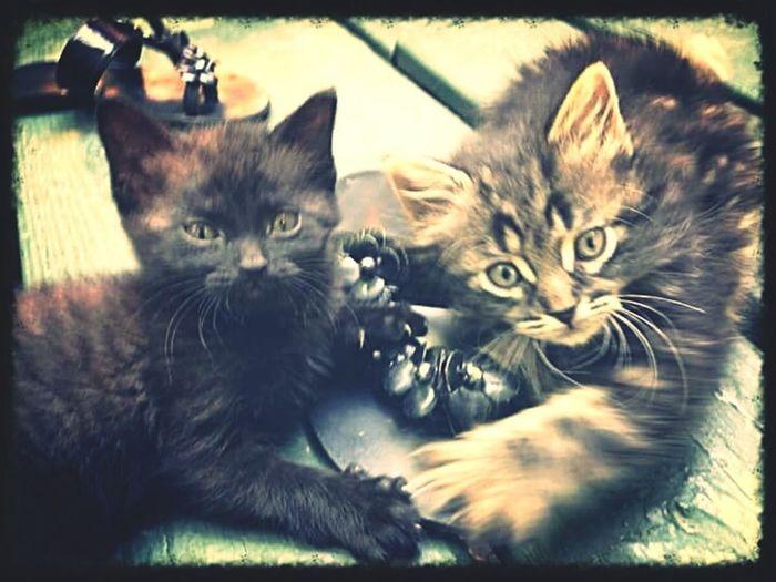 Kittens Play Kittenlove Kittenlife Kitten Photography Kittenlover Kittensjoy Love Domestic Animals Catsaremyaddiction Catsarelife Pet Owner