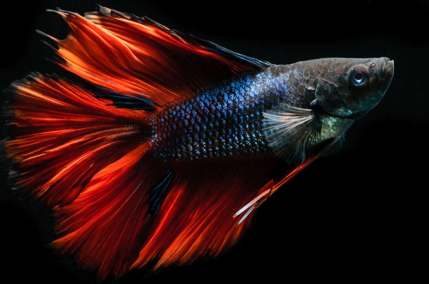 Betta  Betta Fish Betta Lovers Bettafish Bettafishcommunity Bettas Better Together Black Background Close-up Fish Orange Color