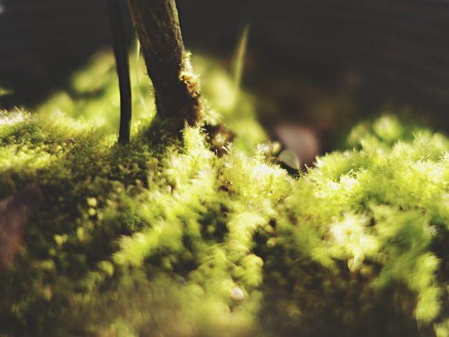 苔 苔 Moss Nature Plants