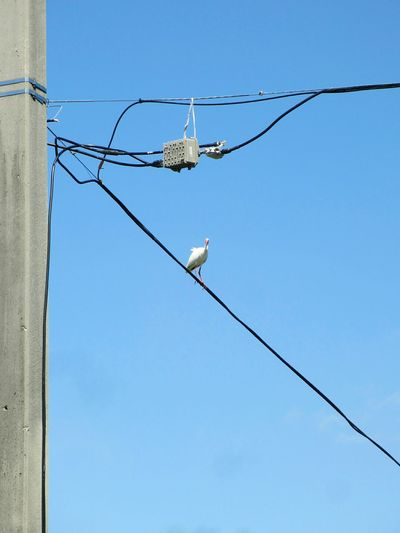 Low angle view of white ibis perching on cable against clear sky