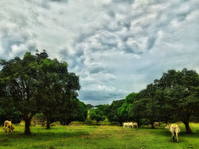 Tree Nature Sky Field Cloud - Sky Beauty In Nature Growth No People Grass Outdoors Animal Themes Scenics Day EyeEmNewHere Animals Photography Animal Portrait Freshness Grass Beauty In Nature Green Color Tree Nature Pet Portraits