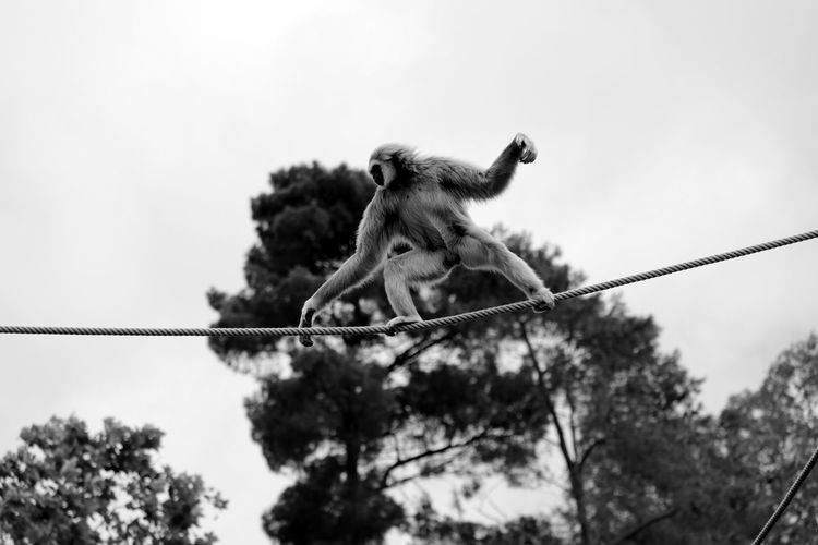 Low angle view of gibbon on rope against sky at zoo