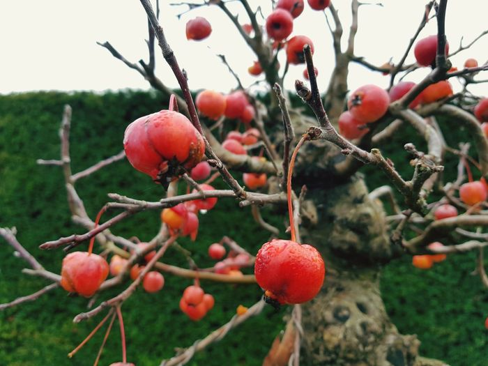 Tree Fruit Red