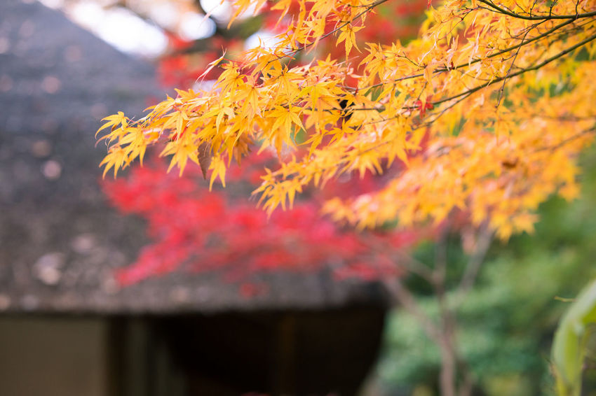 Autumn Beauty In Nature Branch Change Close-up Day Flower Fragility Freshness Growth Maple Leaf Nature No People Outdoors Tree