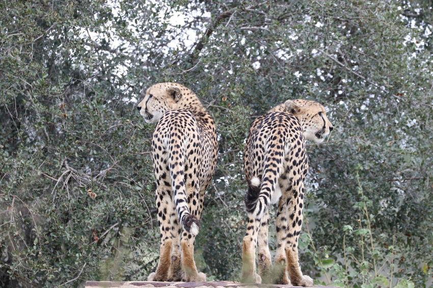 Animals In The Wild Animal Themes Animal Wildlife Mammal Safari Animals Day Green Color Outdoors Animal Markings No People Nature Leopard Cheetah Tree EyeEmNewHere