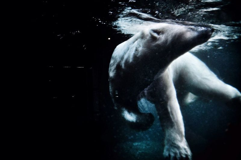 Low angle view of polar bear swimming on river