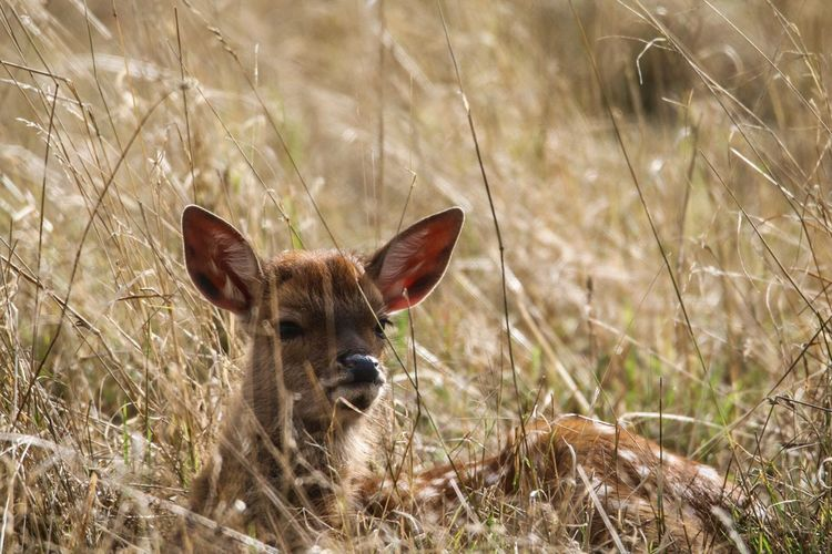 Grass Hidden Wildlife Young Nature Deer