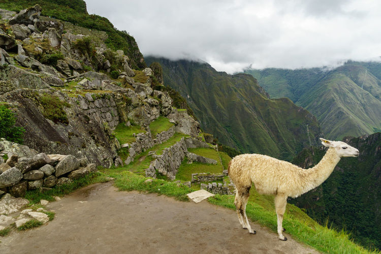 Llama standing on mountain by machu picchu against sky