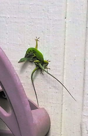 Backyard Critters Wildlife & Nature Lizards Green Mating Season