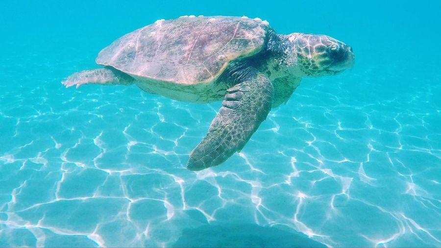 EyeEm Selects Swimming so close to turtles was amazing. Sea Life Sea UnderSea Water Turtle Zakynthos Zante Greece Carettacaretta Loggerheadturtle