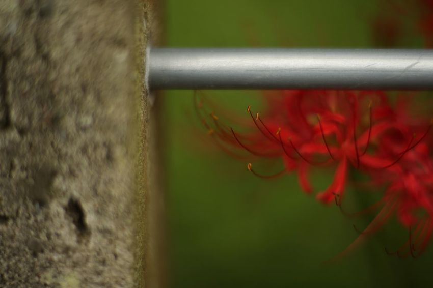 Vestige. EyeEm Nature Lover Flowers Red Spider Lily Fukui Japan Canon5Dmk3 CarlZeiss Planar Bokehlicious